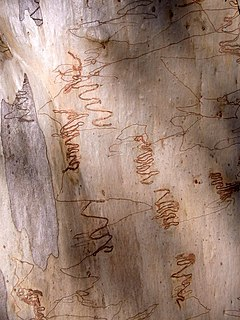 <i>Eucalyptus sclerophylla</i> species of plant