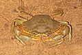 Scylla serrata Mud Crab.jpg