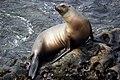 Sea Lion (9225600397).jpg
