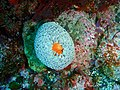 Sea anemone, South East Bay, Three Kings Islands PA121530.JPG