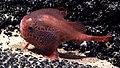Sea toad (Chaunacops cf. melanostomus).jpg