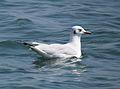 Seagull BNK.JPG