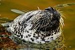 Seal - Cornish Seal Sanctuary (15515580905).jpg