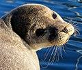 Seal sunbathing in dingle (5517303759).jpg