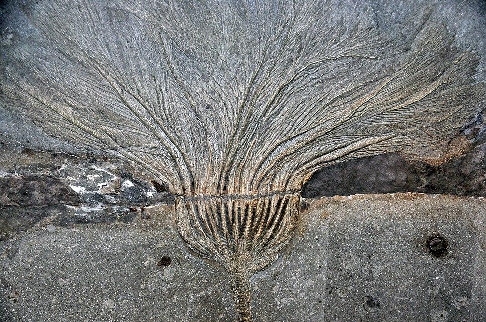 Seirocrinus subangularis (fossil Crinoid)
