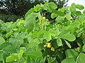 Senna‗obtusifolia.jpg