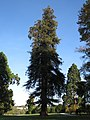 Sequoia sempervirens (Rentilly).jpg