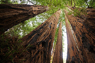 Sequoia sempervirens Big Basin Redwoods State Park 4.jpg
