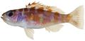 Serranus tortugarum - pone.0010676.g063.png