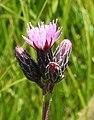 Serratula tinctoria RF.jpg