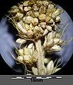 Setaria italica subsp. italica sl41.jpg