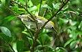 Setophaga pensylvanica Reinita de Pensilvania Chestnut-sided Warbler (15562866221).jpg