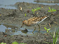Sharp-tailed Sandpiper 8028.jpg