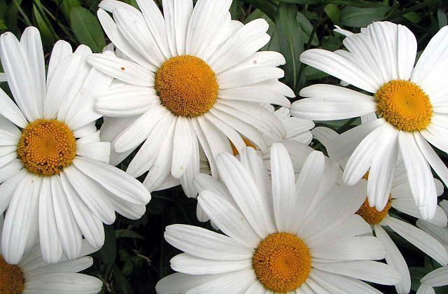 Сорт декоративной маргаритки Shasta daisy