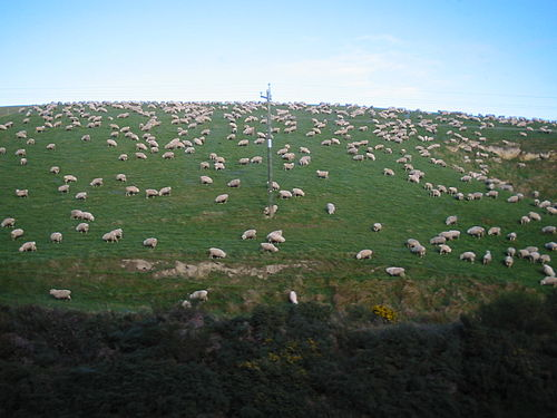 Sheep NZ