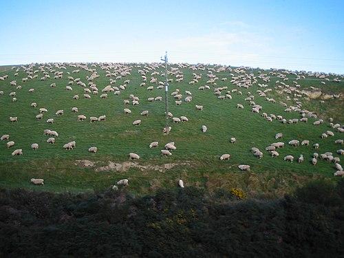 Sheep NZ