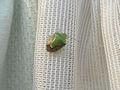 Shield bug (Pentatomidae genus) at Madhurawada1.JPG