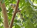 Shikra (Accipiter badius) പ്രാപ്പിടിയൻ .jpg