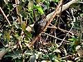 Shy Bird Asian koel.jpg