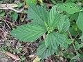 Sida rhombifolia leaf3 (16142660412).jpg