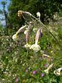 Silene nutans flowers.jpg