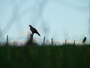 Tasmanian wedge-tailed eagle - Image: Silhouette of a Tasmanian wedge tailed eagle and a forest raven on a farm fence
