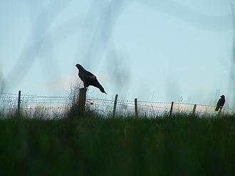 Tasmanian wedge-tailed eagle - Image: Silhouette of a Tasmanian wedge tailed eagle and a forest raven on a farm fence