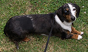 Silver dapple smooth-haired miniature dachshund with a blue eye and brown eye