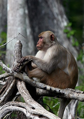 Silver River (Florida) - A feral rhesus macaque along the river