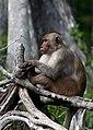 Silver River monkey.jpg