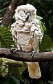 Singapore Zoo White Cockatoo-1 (6605050403).jpg