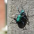 Six-Spotted Tiger Beetle (Cicindela sexguttata).jpg