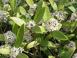 Rutaceae family of plants