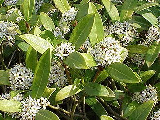 Rutaceae - Skimmia japonica