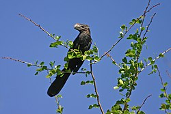 Smooth-billed ani.jpg