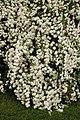 Snowball Viburnum Viburnum plicatum Flowers 1.jpg