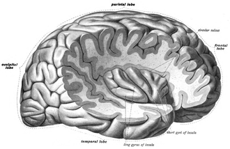Insular cortex - The insula of the right side, exposed by removing the opercula.