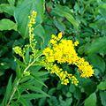 Solidago canadensis (Kanadische Goldrute) asteraceae.jpg