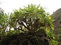 Sonchus palmensis (Los Tilos) 02.jpg