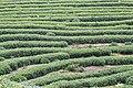 Songyang tea field.jpg