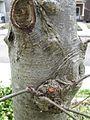 Sorbus aucuparia 2.jpg
