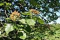 Sorbus latifolia kz02.jpg