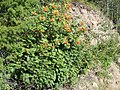 Sorbus scopulina (5066416982).jpg