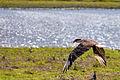 Southern Crested Caracara - Caricare Encrestado (Caracara plancus) (9741518519).jpg