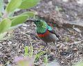 Southern Double-collared Sunbird (Cinnyris chalybeus) 2.jpg