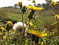 Sow-thistle, The Grove - geograph.org.uk - 990946.jpg
