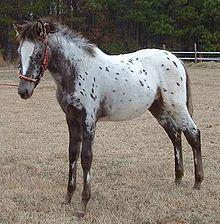 Spanish Jennet Horse - Wikipedia