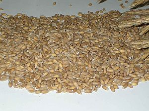 Staple food - Spelt, a species of wheat and a historically important staple food