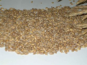 Staple food - Unprocessed seeds of spelt, a historically important staple food