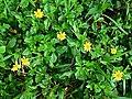 Sphagneticola trilobata (Asteraceae) 10.jpg